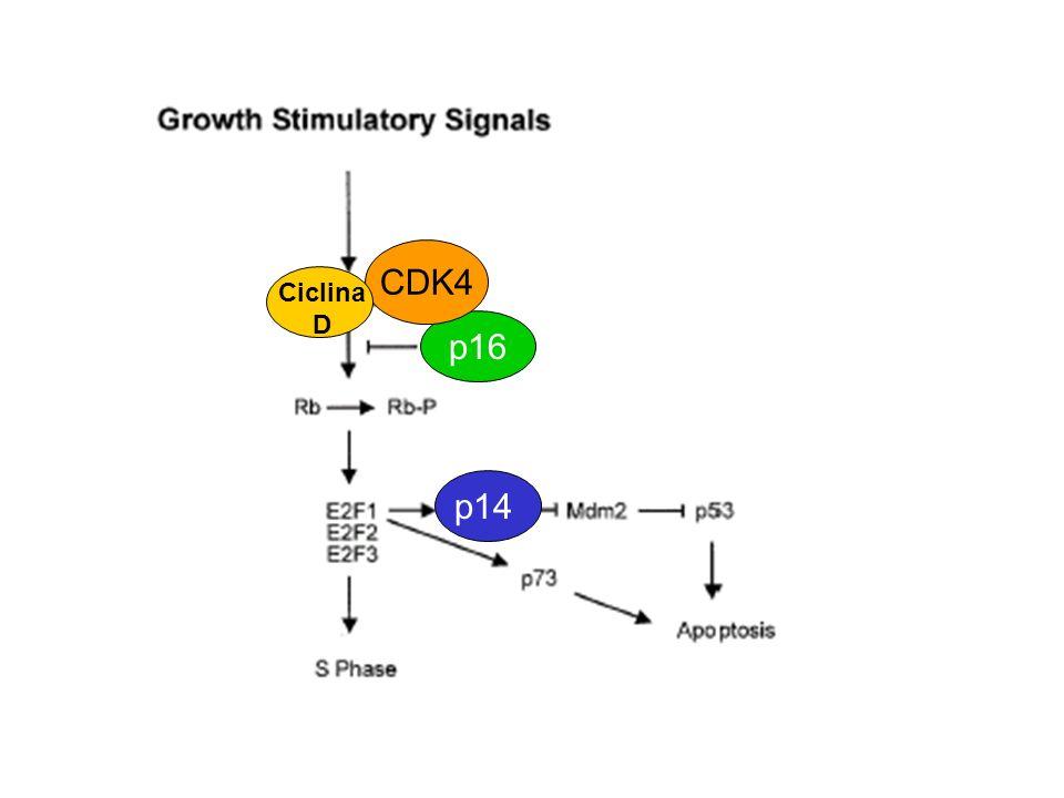 CDK4 Ciclina D p16 p14
