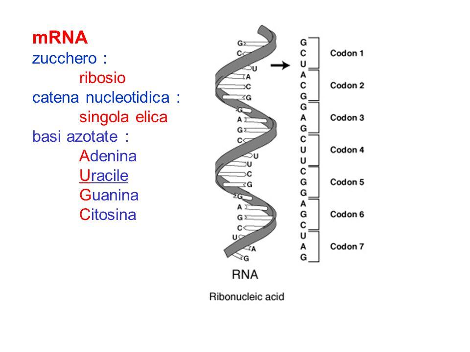 mRNA zucchero : ribosio catena nucleotidica : singola elica