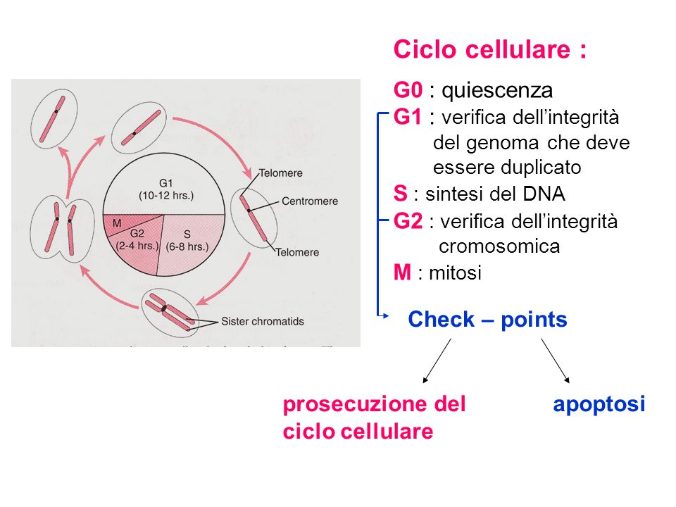Ciclo cellulare : G0 : quiescenza G1 : verifica dell'integrità