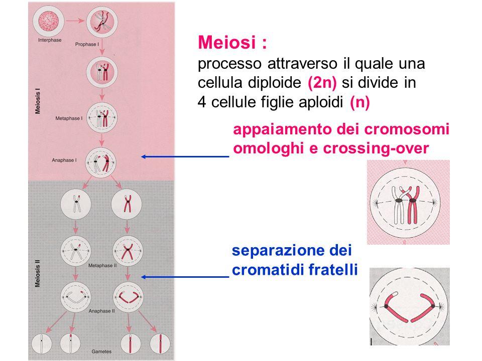 Meiosi : processo attraverso il quale una