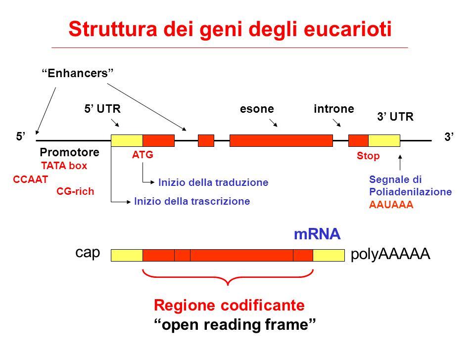 Struttura dei geni degli eucarioti