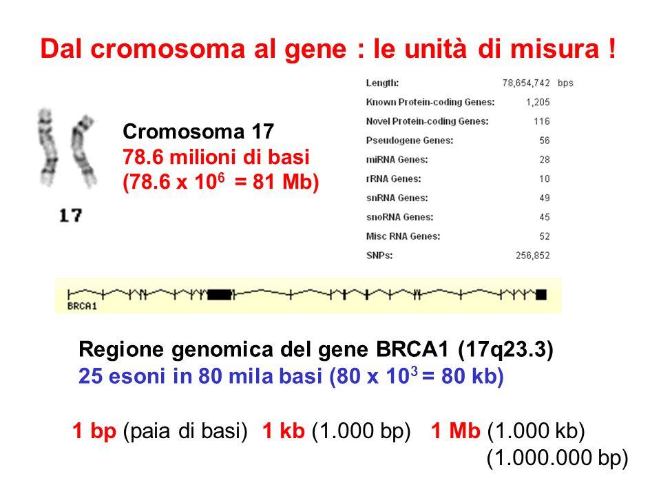 Dal cromosoma al gene : le unità di misura !