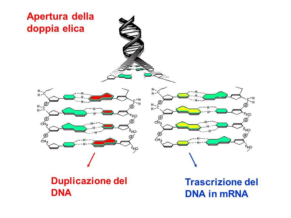 Apertura della doppia elica Duplicazione del Trascrizione del DNA