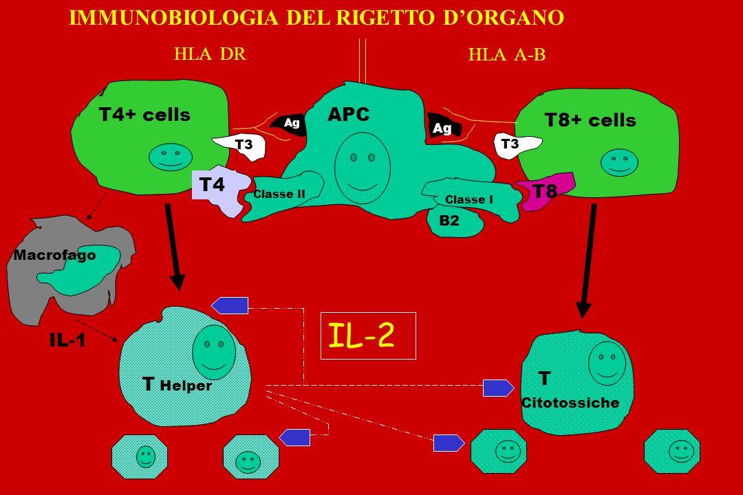 IL-2 IMMUNOBIOLOGIA DEL RIGETTO D'ORGANO HLA DR HLA A-B T4+ cells APC