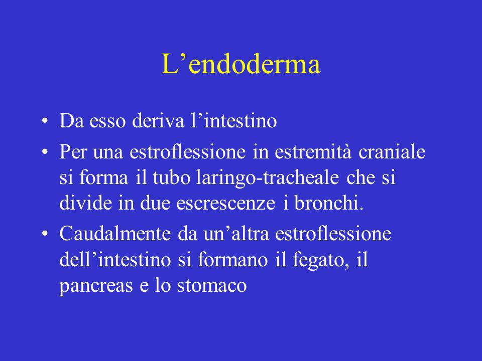 L'endoderma Da esso deriva l'intestino