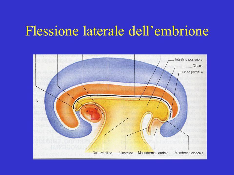 Flessione laterale dell'embrione