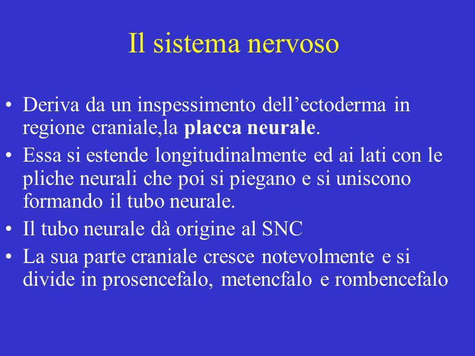 Il sistema nervoso Deriva da un inspessimento dell'ectoderma in regione craniale,la placca neurale.