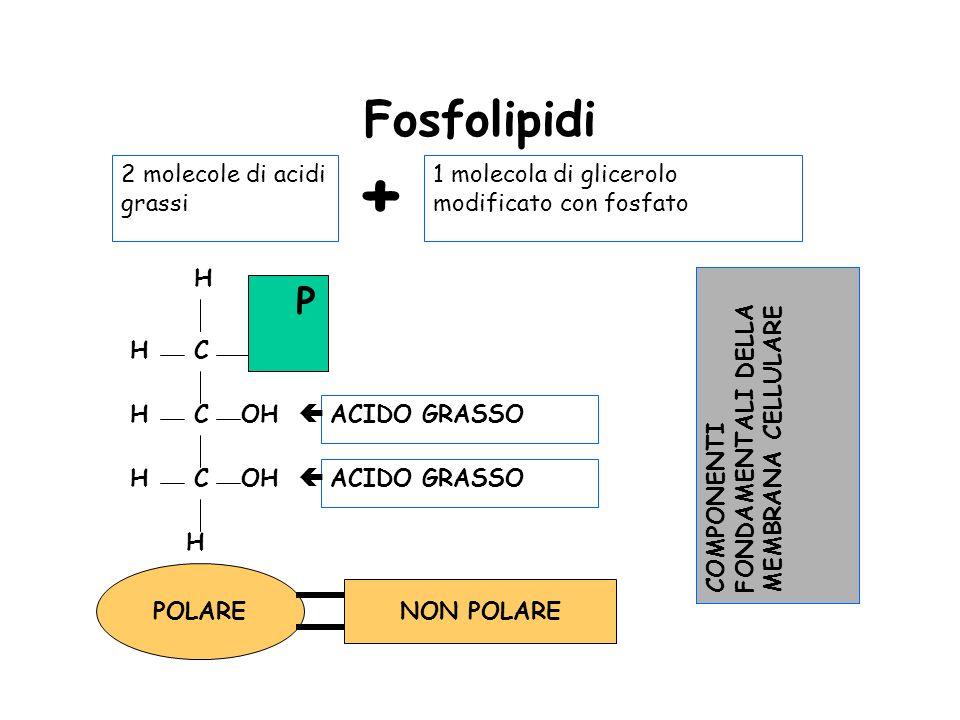 + Fosfolipidi P 2 molecole di acidi grassi