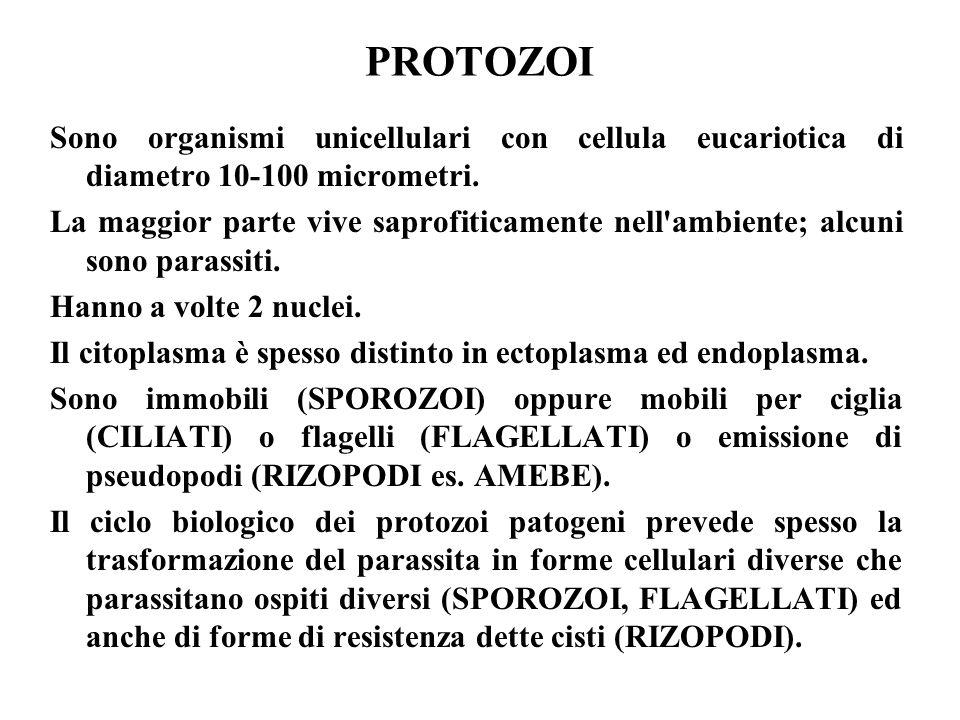 PROTOZOI Sono organismi unicellulari con cellula eucariotica di diametro 10-100 micrometri.