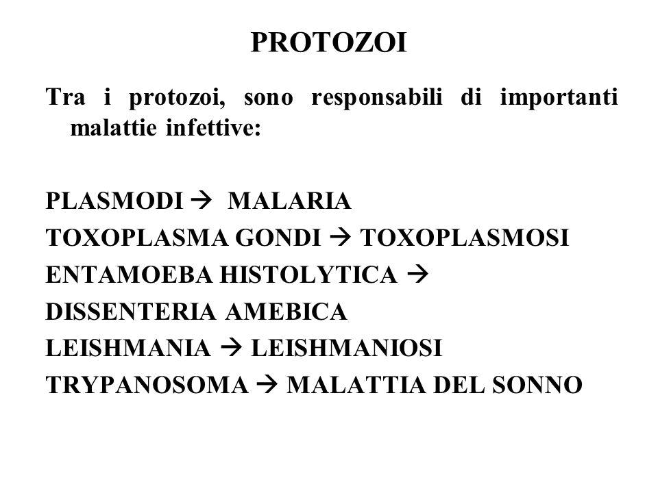 PROTOZOI Tra i protozoi, sono responsabili di importanti malattie infettive: PLASMODI  MALARIA.