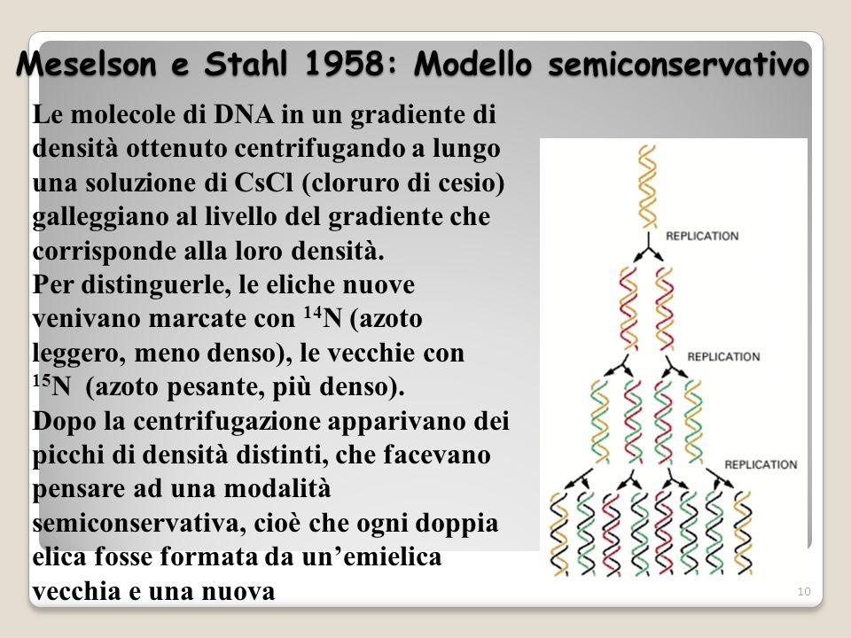 Meselson e Stahl 1958: Modello semiconservativo