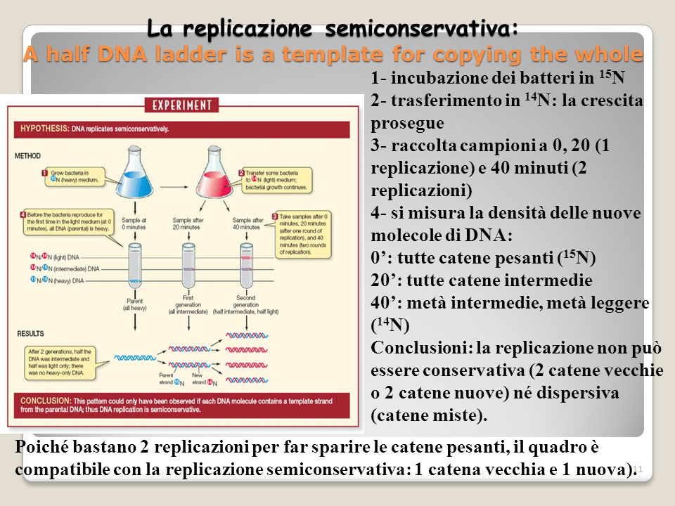 La replicazione semiconservativa: A half DNA ladder is a template for copying the whole