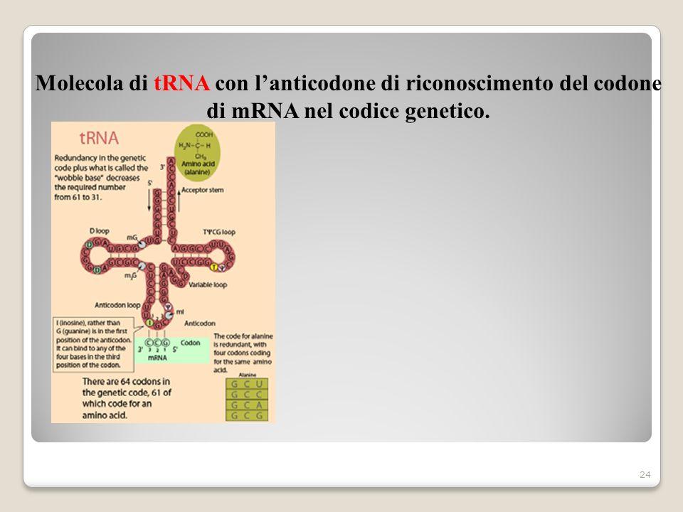 Molecola di tRNA con l'anticodone di riconoscimento del codone di mRNA nel codice genetico.