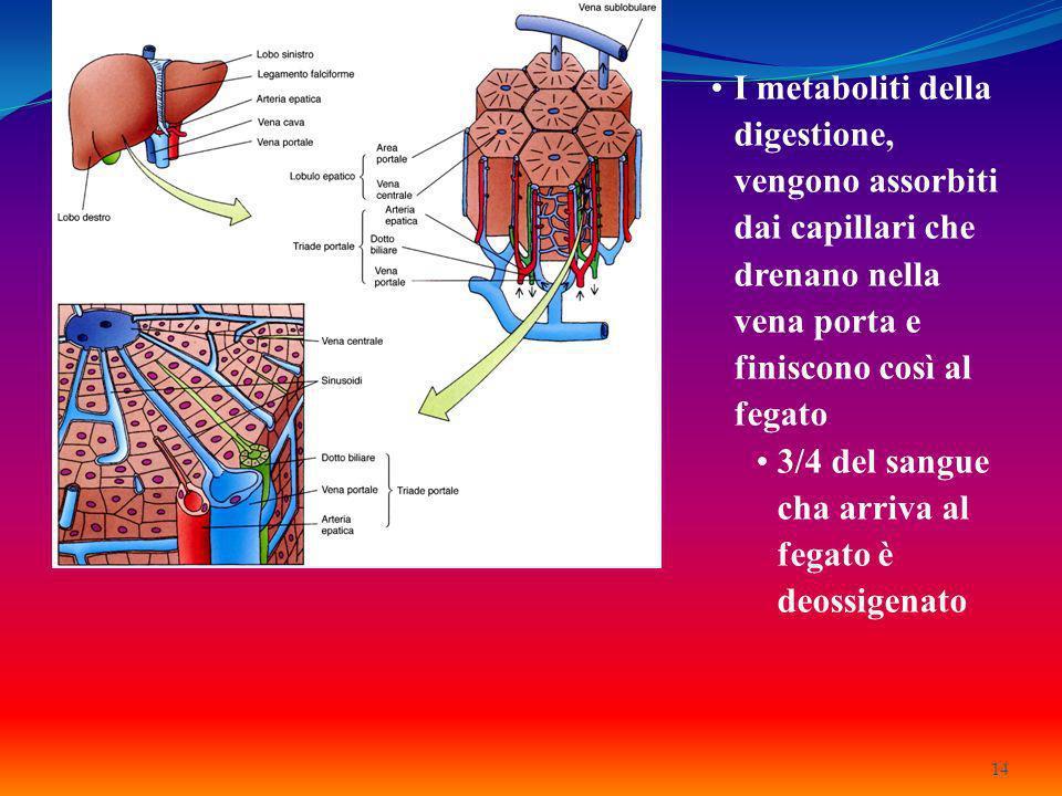 I metaboliti della digestione, vengono assorbiti dai capillari che drenano nella vena porta e finiscono così al fegato