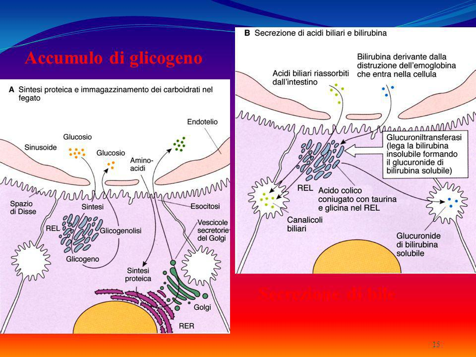 Accumulo di glicogeno Secrezione di bile