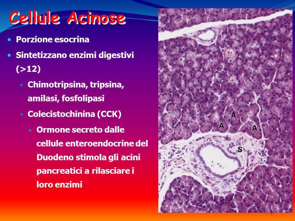 Cellule Acinose Porzione esocrina