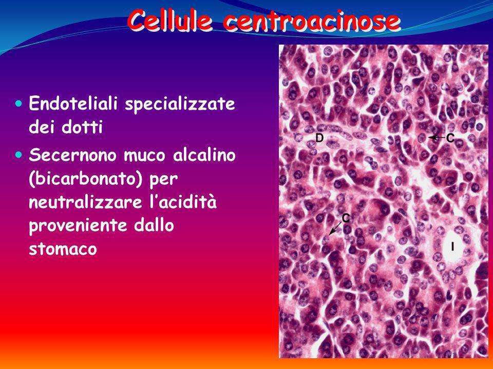 Cellule centroacinose