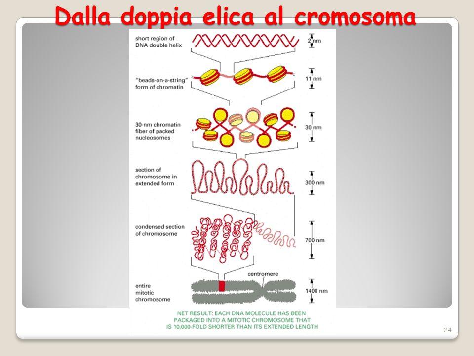 Dalla doppia elica al cromosoma