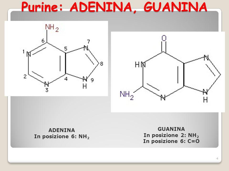 Purine: ADENINA, GUANINA