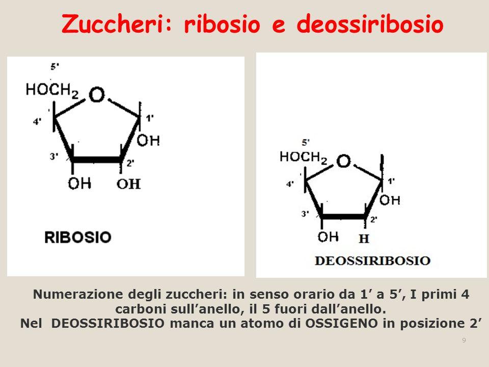 Zuccheri: ribosio e deossiribosio