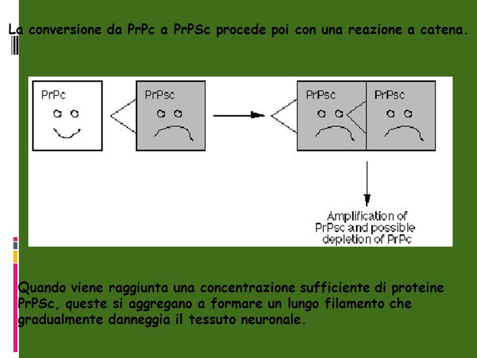 La conversione da PrPc a PrPSc procede poi con una reazione a catena.