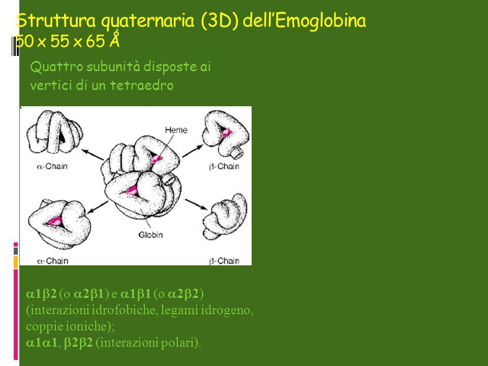 Struttura quaternaria (3D) dell'Emoglobina 50 x 55 x 65 Ǻ