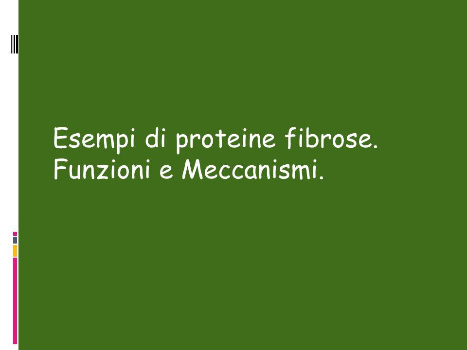 Esempi di proteine fibrose.