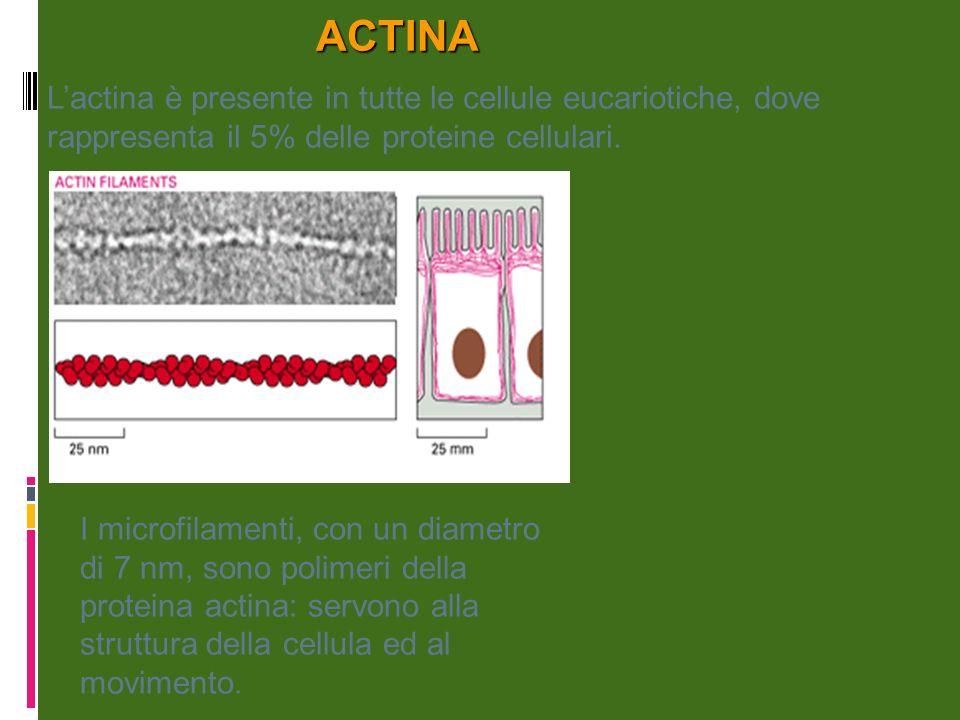 ACTINA L'actina è presente in tutte le cellule eucariotiche, dove rappresenta il 5% delle proteine cellulari.