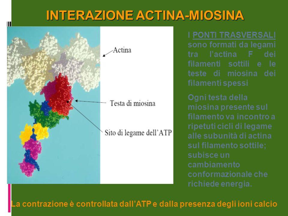 INTERAZIONE ACTINA-MIOSINA