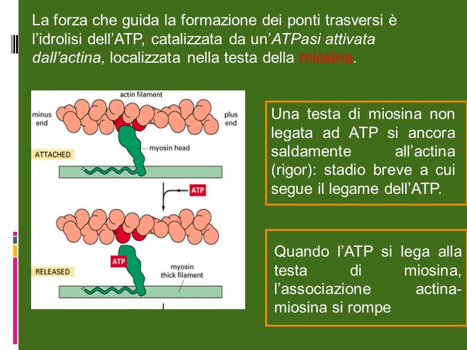 La forza che guida la formazione dei ponti trasversi è l'idrolisi dell'ATP, catalizzata da un'ATPasi attivata dall'actina, localizzata nella testa della miosina.