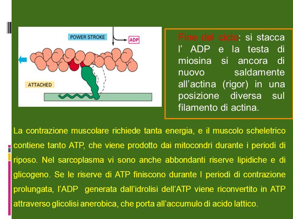 Fine del ciclo: si stacca l' ADP e la testa di miosina si ancora di nuovo saldamente all'actina (rigor) in una posizione diversa sul filamento di actina.