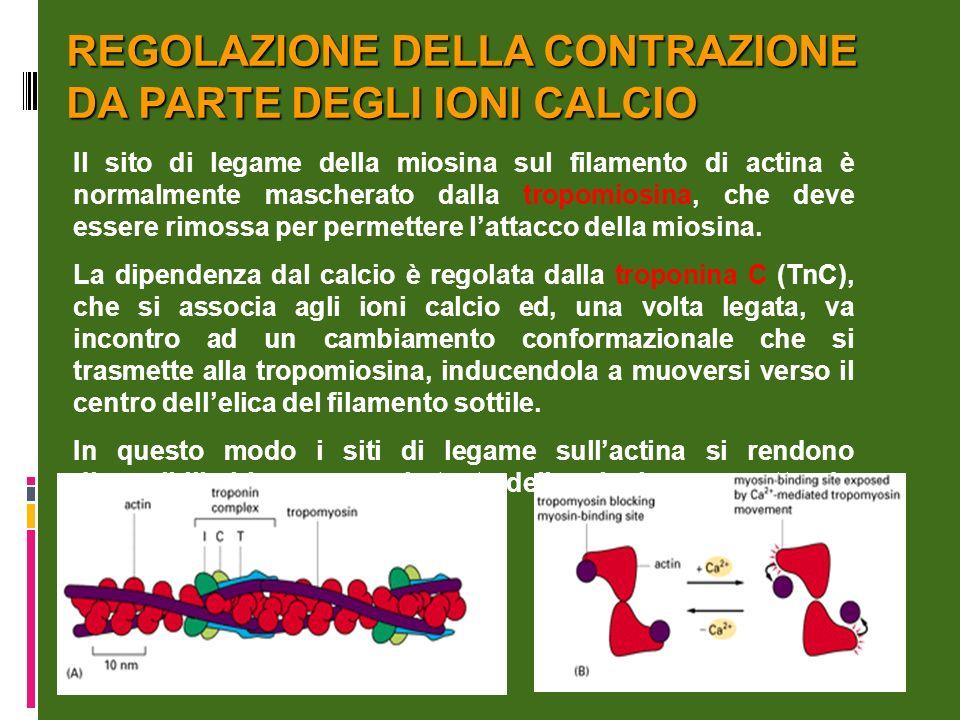 REGOLAZIONE DELLA CONTRAZIONE DA PARTE DEGLI IONI CALCIO