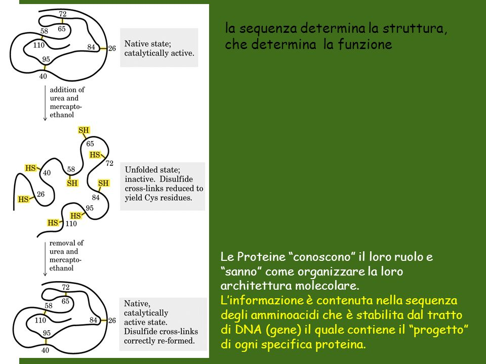 la sequenza determina la struttura, che determina la funzione