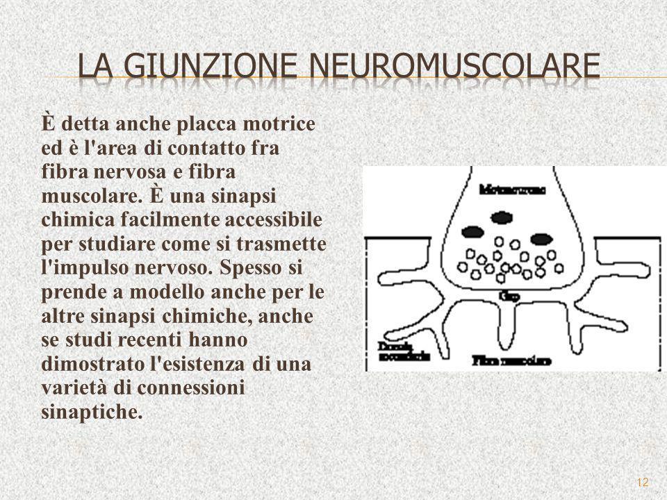 La giunzione neuromuscolare