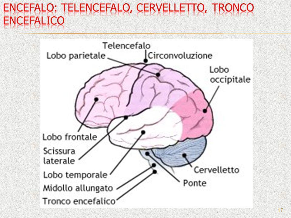 Encefalo: telencefalo, cervelletto, tronco encefalico