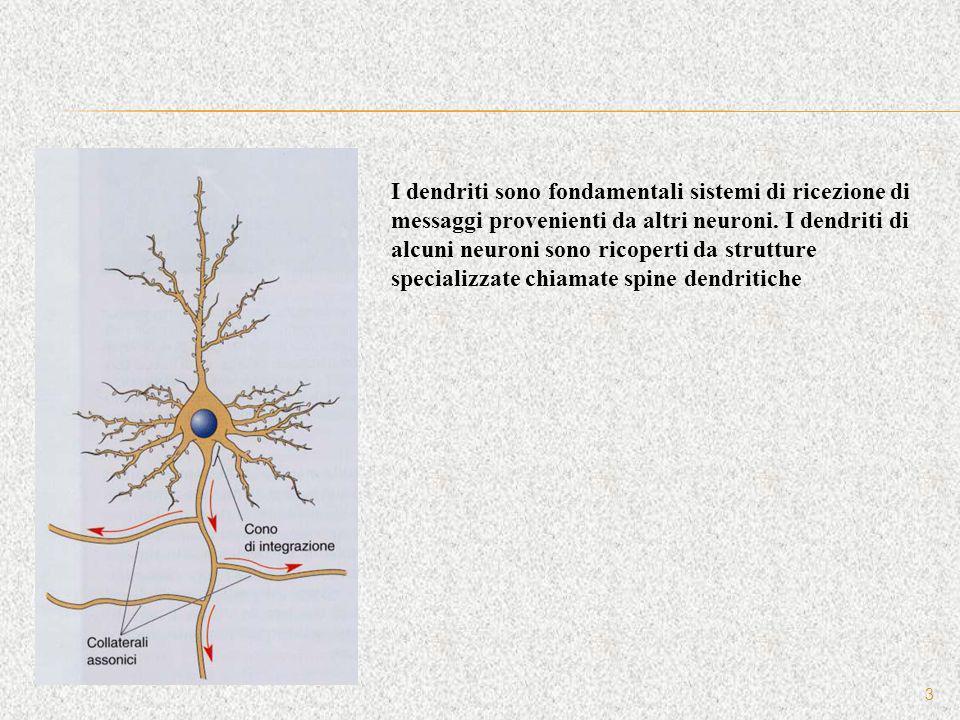 I dendriti sono fondamentali sistemi di ricezione di messaggi provenienti da altri neuroni.