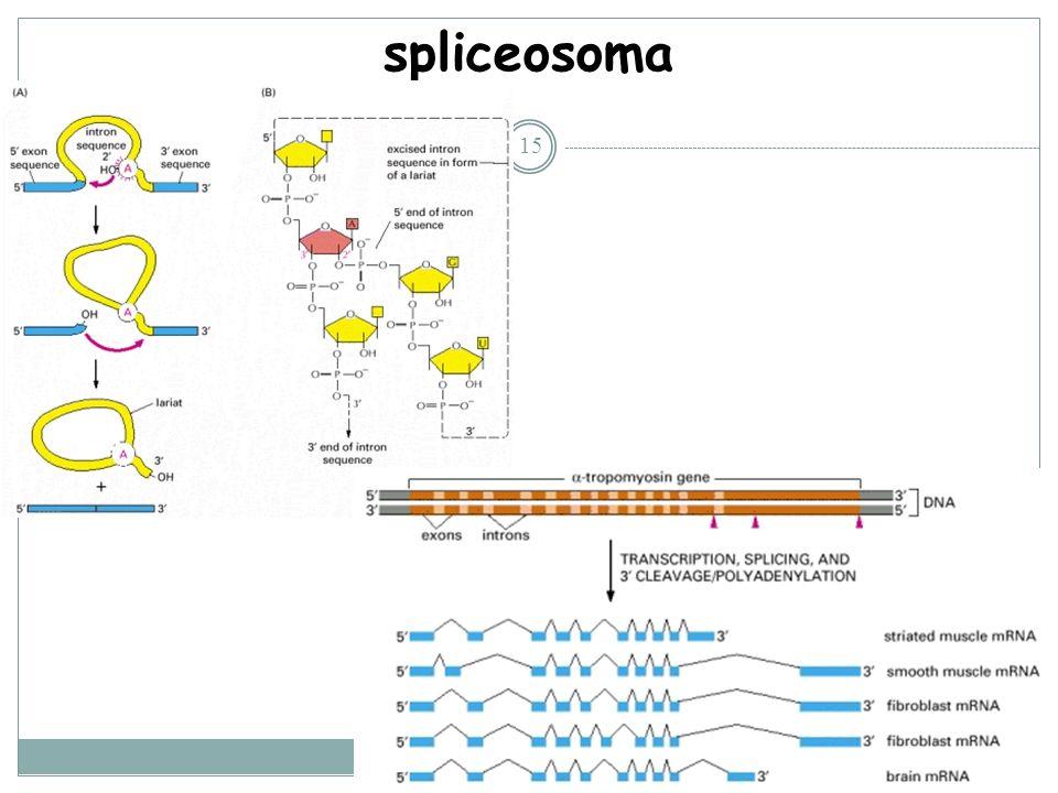 spliceosoma
