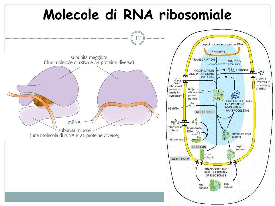 Molecole di RNA ribosomiale