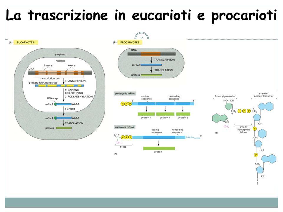 La trascrizione in eucarioti e procarioti