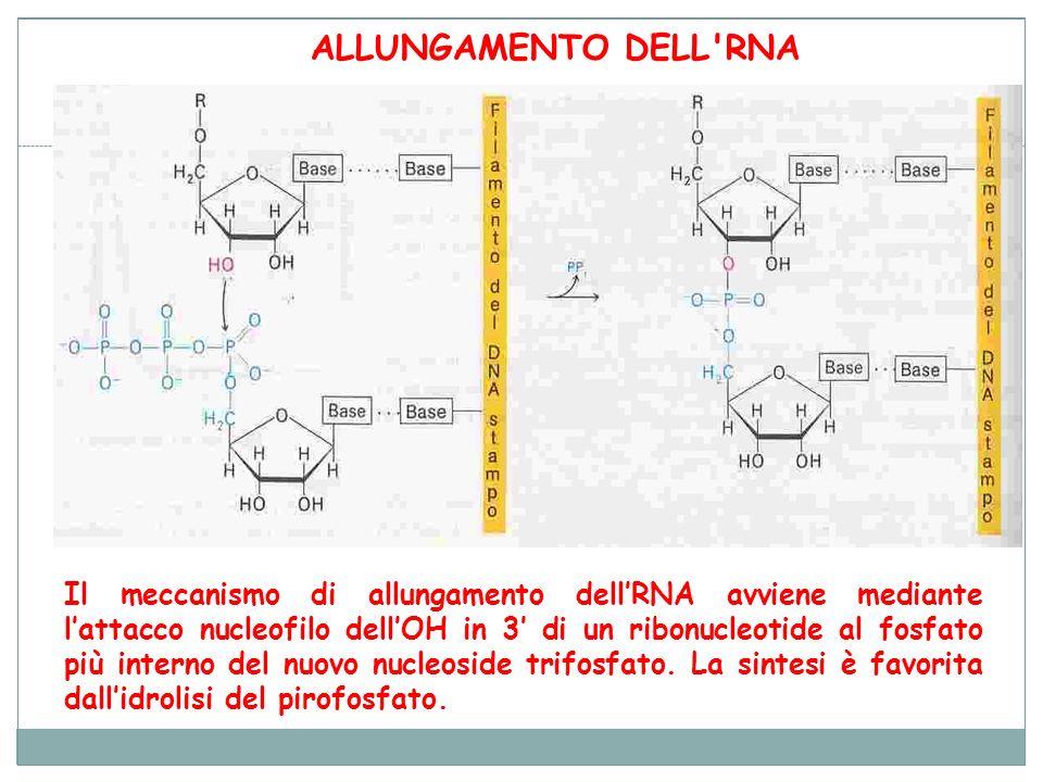 ALLUNGAMENTO DELL RNA