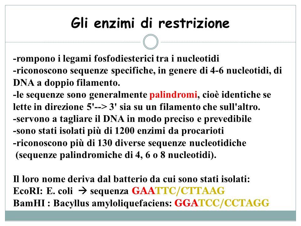 Gli enzimi di restrizione