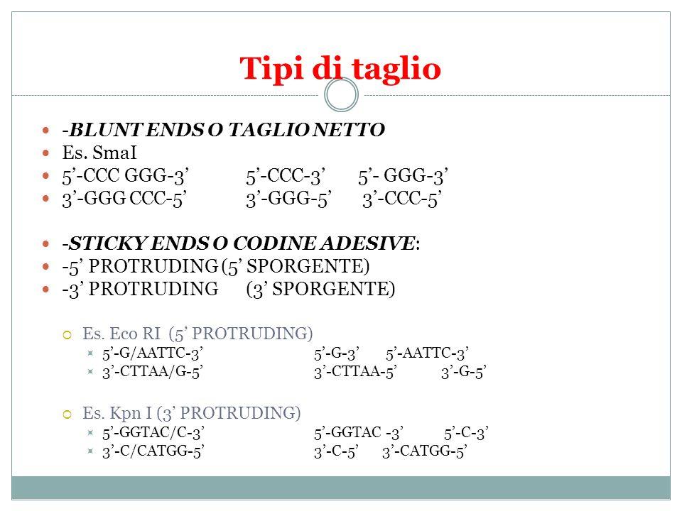 Tipi di taglio -BLUNT ENDS O TAGLIO NETTO Es. SmaI