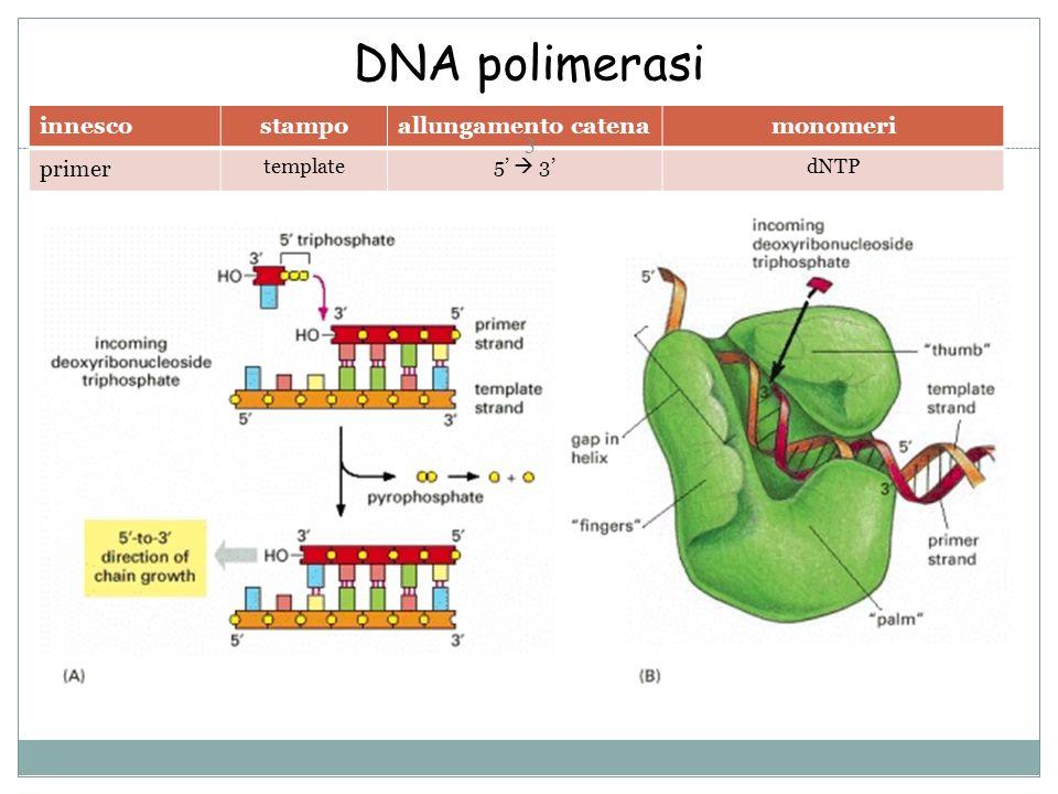 DNA polimerasi innesco stampo allungamento catena monomeri primer
