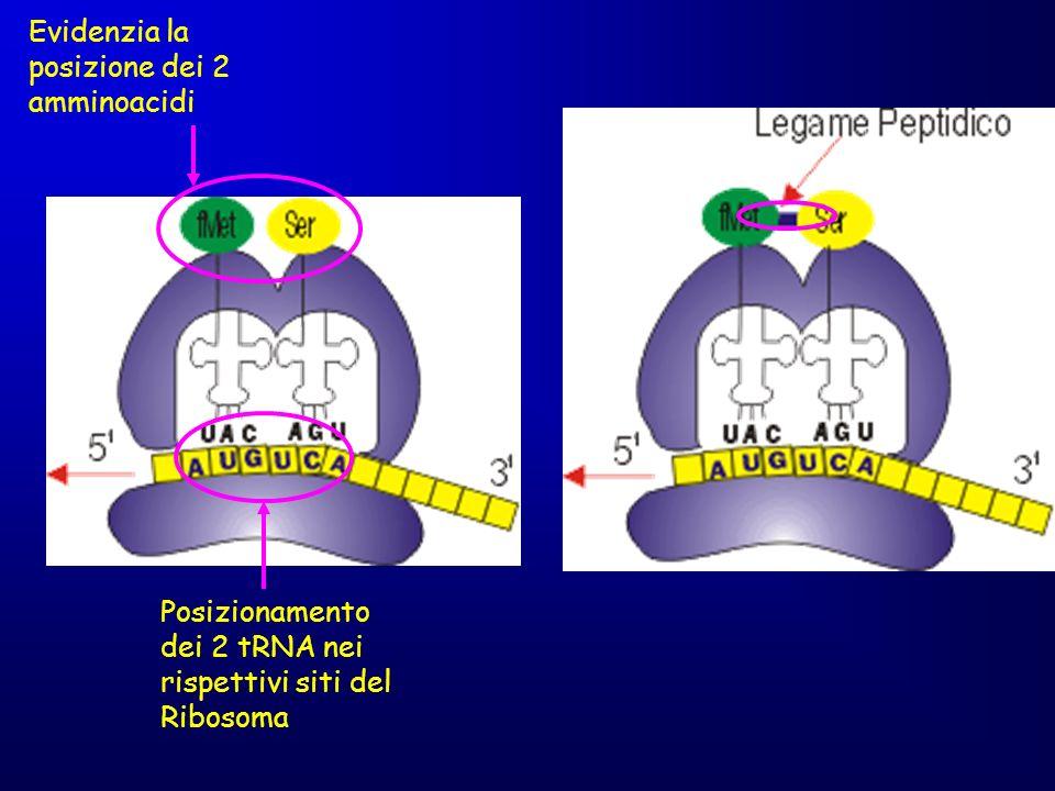 Evidenzia la posizione dei 2 amminoacidi