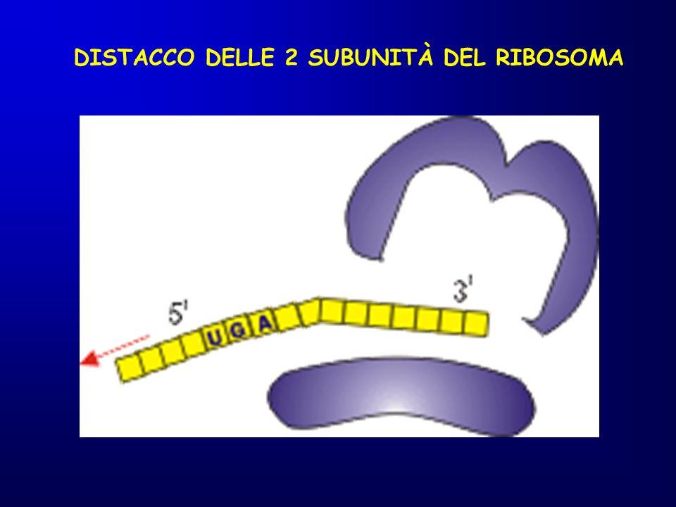 DISTACCO DELLE 2 SUBUNITÀ DEL RIBOSOMA