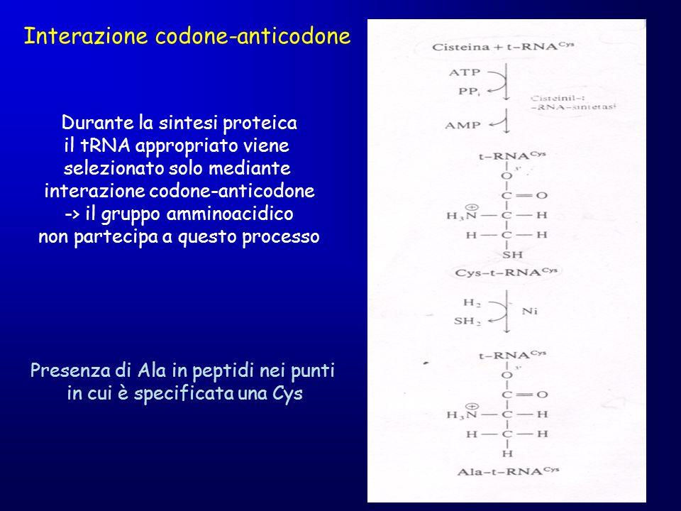 Interazione codone-anticodone