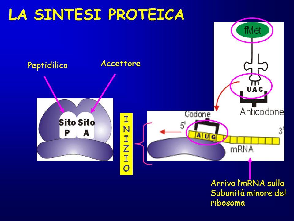 LA SINTESI PROTEICA Accettore Peptidilico I N Z O Arriva l'mRNA sulla