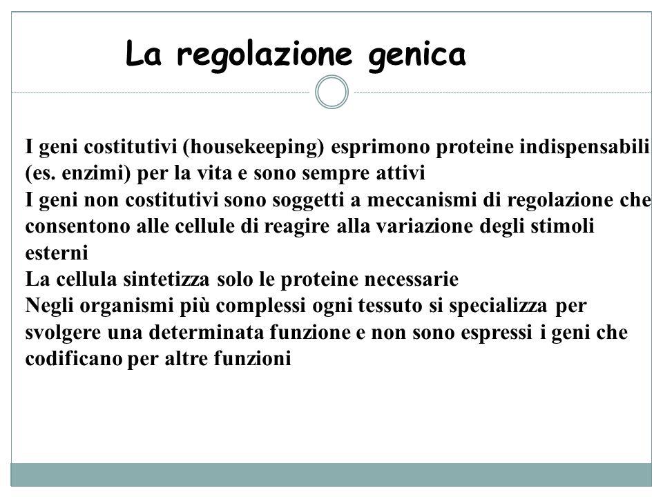 La regolazione genica I geni costitutivi (housekeeping) esprimono proteine indispensabili (es. enzimi) per la vita e sono sempre attivi.