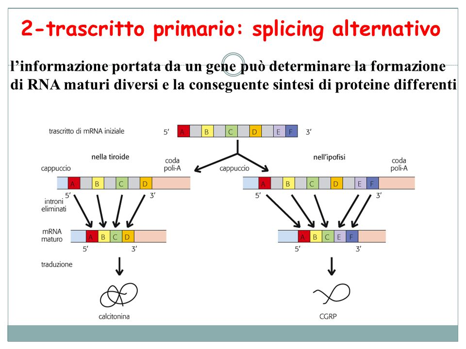2-trascritto primario: splicing alternativo