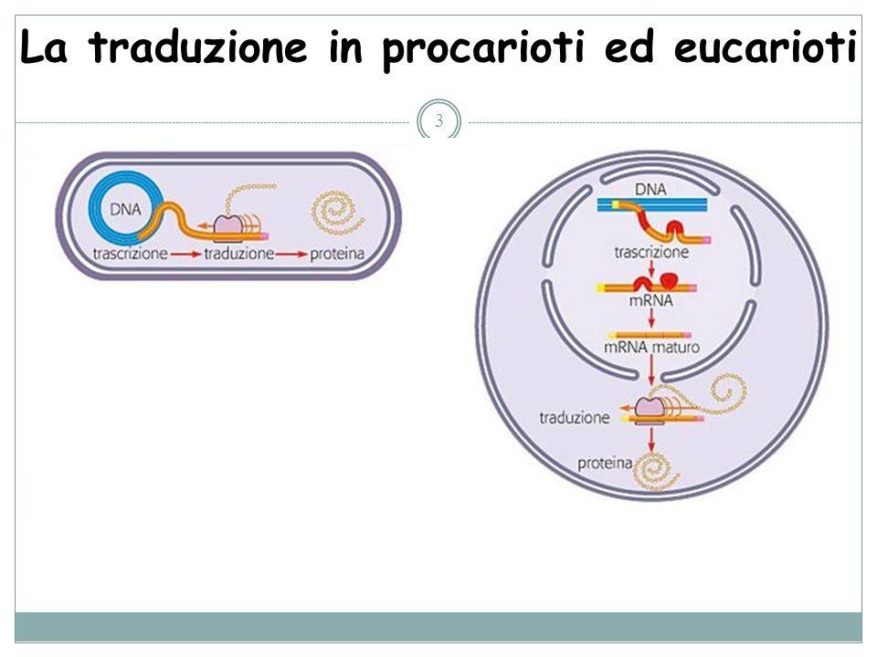 La traduzione in procarioti ed eucarioti